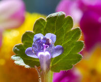 Pretty tiny flower and the droplets of rain. A drop of rain on the little blue flowers on background of green leaf and a flower garden . Macro photography in the Stock Photo