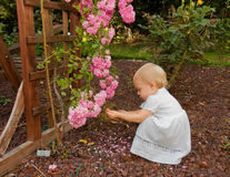Pretty Toddler Girl Playing Near Pink Roses. This pretty toddler wearing a white dress is squatting and playing with some small pink climbing roses in the summer Stock Photography