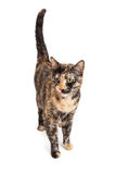 Pretty Tortie Cat Standing Looking to Side Royalty Free Stock Photo