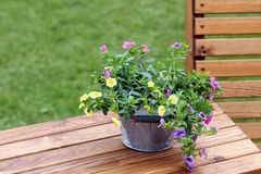 Pretty trailing petunias in a galvanised bucket on a wooden table.  royalty free stock photo