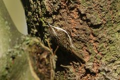 A stunning Treecreeper Certhia familiaris climbing up the trunk of a large tree searching for insects to eat. A pretty Treecreeper Certhia familiaris climbing stock images