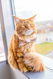 Pretty Tricky Maine Coon Cat wearing Butterfly Tie sitting on a Windowsill and looking Through the Window Royalty Free Stock Photo