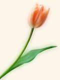 Pretty Tulip flower. EPS 8  file included Stock Images