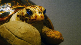 Pretty turtle. It is the model of the old turtle Royalty Free Stock Images