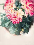 Pretty unusual pink yellow rose plant with flowers Royalty Free Stock Image