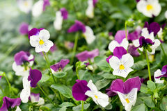 Pretty variegated white and purple violet Stock Image