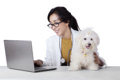 Pretty veterinarian uses laptop with dog on desk. Young female veterinarian working on the table with a laptop and maltese dog, isolated on white background stock photography