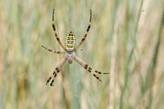 A pretty Wasp Spider Argiope bruennichi sitting on its web in the long grass. Royalty Free Stock Image