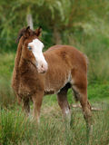 Pretty Welsh Foal Royalty Free Stock Photos