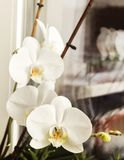 White blooming tender flower orchid Royalty Free Stock Photo