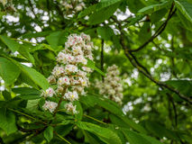 Pretty White Blossom in Tree. Pretty white blossom in a tree within the local park Royalty Free Stock Images