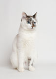 Pretty white cat. On the light background Royalty Free Stock Images