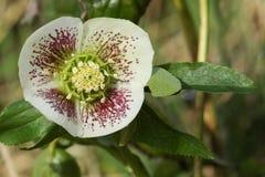 A pretty white Christmas Rose Helleborus plant. A stunning white Christmas Rose Helleborus plant Royalty Free Stock Photos