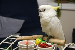 Cockatoo on Playgym Stock Images