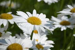 Pretty White Common Daisies in Bloom Royalty Free Stock Image