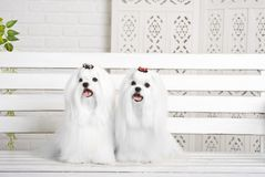 Two Little white beautiful dogs maltese. 2 Pretty white dogs with long coat sit on white background on the bench breed maltese Stock Photo