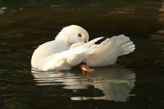 Pretty white duck preening Royalty Free Stock Photography