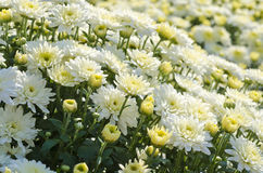 Pretty White Fall Chrysanthemums Stock Images