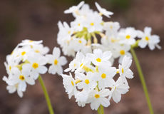 Pretty white flowers blooming Stock Image
