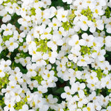 Pretty White Flowers Blooming Stock Photo