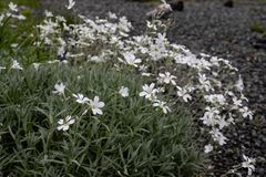 Pretty White Flowers Blooming in a Garden royalty free stock photo