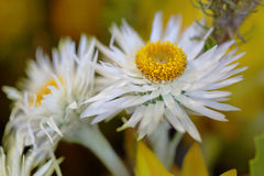 Pretty white flowers with yelllow centre Royalty Free Stock Photography