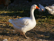 Pretty white goose standing on poultry farm rural scene Royalty Free Stock Photo