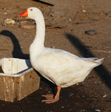Pretty white goose standing on poultry farm rural scene Stock Photography