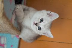Pretty white gray British kitten hanging on cat house and looking up stock photography