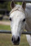 Pretty White Horse Face Royalty Free Stock Photos