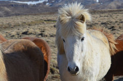 Pretty White Icelandic Mare. White Icelandic mare in a herd of other horses Stock Image