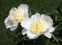 Pretty white peony Stock Images