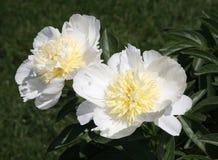 Pretty white peony. Peony white flower garden green petal beautiful Stock Images