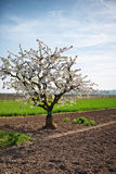 Pretty white spring blossom on an apple tree royalty free stock photos