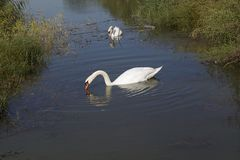 Pretty white swans on the small river with the reed Stock Image