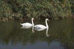 Pretty white swans on the small river with the reed Royalty Free Stock Photo