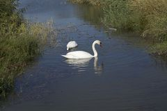 Pretty white swans on the small river with the reed Stock Photography
