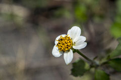 Pretty white and yellow flower. White and yellow flower in the wild Stock Photography