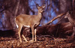 Pretty whitetail doe. This doe stands erect with ears alerted to distant sound stock photography