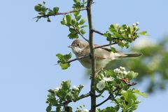 A stunning Whitethroat Sylvia communis perching on a flowering Hawthorn tree Crataegus monogyna in spring. A pretty Whitethroat Sylvia communis perching on a Stock Images