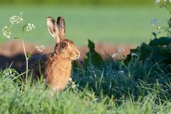 Pretty wild hare close up sat on the edge of a field Royalty Free Stock Photography