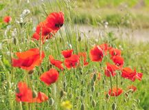 Pretty wild poppies Royalty Free Stock Images