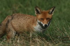 A magnificent wild Red Fox Vulpes vulpes hunting for food to eat in the long grass. A pretty wild Red Fox Vulpes vulpes hunting for food to eat in the long stock photography