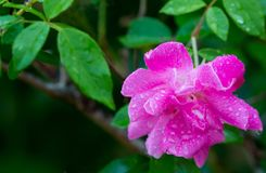 Pretty Wild Rose Flower with Rain Water Droplets Stock Photo