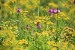 Pretty wildflowers in a spring meadow Royalty Free Stock Photo