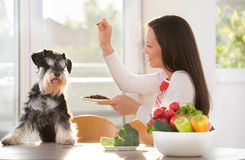 Woman feeding dog at kitchen table. Pretty woman feeding miniature schnauzer with granules at table. Spoiled dog eating dry food Stock Images