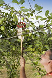 Pretty woman gathering green organic apples with picking stick Stock Image