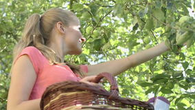 Pretty woman up on a ladder picking apples from an apple tree on a summer day stock video footage