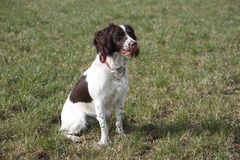 A pretty working english springer spaniel gundog Stock Image