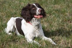 A pretty working english springer spaniel gundog Royalty Free Stock Photo